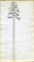 Image of [Tree Trunks] - Drawing