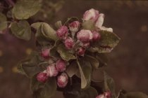 Image of Wild Apple Blossoms - Transparency, Slide