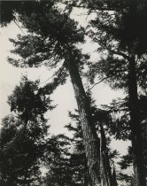 Image of Tall Pine Tree