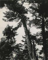 Image of Tall Pine Tree Tall Pine  - Print, Photographic