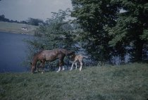 Image of Mare and Colt - Transparency, Slide