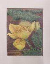 Image of Marsh Marigold - Drawing