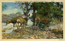 Image of The Deer are Plentiful Here, Adirondack Mountains, N.Y.  - Postcard