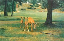 Image of Many Unfenced Deer at Uncas Estate - Postcard