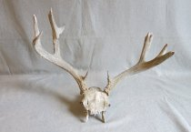 Image of Antlers