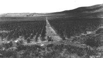 Image of Stanley eucalyptus grove