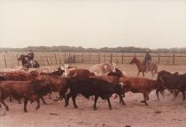 Image of Perry Ranch Cattle, 1992