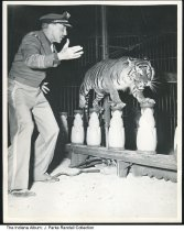 Image of Animal trainer, George Keller at circus in Indianapolis, Indiana, 1954 - George Keller with tiger in tent at the Indiana State Fairgrounds. From a series of photographs of the Ringling Brothers Barnum and Bailey Circus. Photographer J. Parke Randall had a press pass and photographed at the circus train at the Dearborn yards at Dearborn Street and Massachusetts Avenue and also during the performance at the fairgrounds.  According to the Indianapolis Star, the circus was held on July 31 and August 1, 1954.