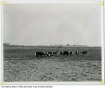 """Image of Cattle in field on Truax farm, Pittsboro, Indiana, 1956 - Hereford cattle in a field on the farm of Willis Truax (1898-1983) and Rena (Patrick) Truax (1900-1993). One of six photographs of the Truax family farming operation taken by WTTV Channel 4 of Bloomington, Indiana. Written on the back is """"Oct 1956."""""""