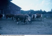 Image of Young man with cattle, Wabash, Indiana, ca. 1960 -