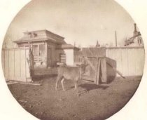 Image of Outbuilding and Calf on property of Edgar Sawyer - P2001.1.392