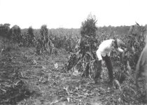 "Image of ""Cutting Corn"" - P2002.14.794"