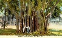 Image of East India Banyan Tree