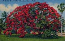 Image of Royal Poinciana Tree