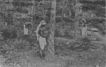 Image of Rubber Tapping, Ceylon