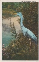 Image of Blue Heron, Florida