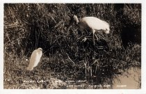 Image of Snowy Egret and Wood Ibis