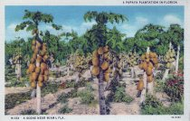 Image of Papaya Plantation in Florida