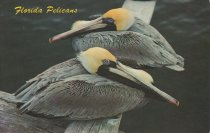 Image of Pelicans