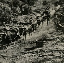 Image of Oxen on skid road