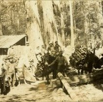 Image of Bringing Bark in With Mules