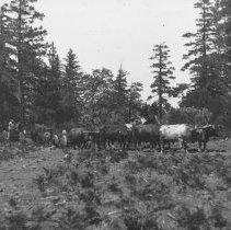Image of Bull Team in Mendocino