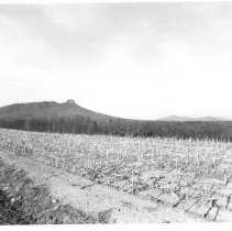 Image of Pilot Mountain - Corn field, with full view of Pilot Mountain in the distance.  Picture is taken from the Shoal's side of the mountain.