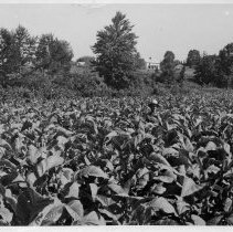 Image of Tobacco Field - Tobacco field, Pilot Mountain vicinity.  Two men wearing large hats are in the field, and several houses can be seen in the background.