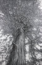 Image of Wagener, Ellen - D. H. Lawrence Tree, Kiowa, NM