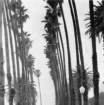 Image of Palm Trees in Palisades Park - 1986/03/07
