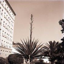 Image of Mauritius Hemp Plant at the Miramar Hotel - 1941/07/12