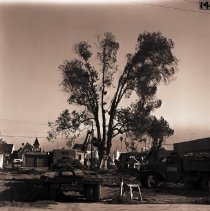 Image of Eucalyptus On Third Street Comes Down, 1949 - 1949/12/12