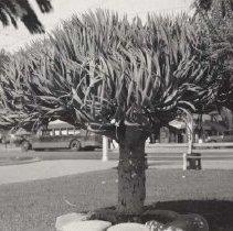 Image of Palisades Park Vegetation - 1920s
