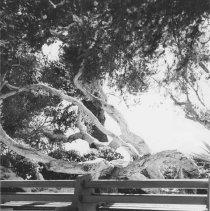 Image of Australian Tea Tree in Palisades Park - undated
