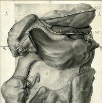 Image of Abdominal Organs with Peritoneum - 2009.017.010