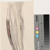 Image of Muscles of the Leg - Graphite and colored pencil renderings of the muscles of the leg. Possible preparatory work for Warren's Handbook of Anatomy. 6 pieces.