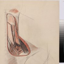 Image of Deep Muscles of the Neck - Graphite and colored pencil rendering of the deep muscles of the neck. 3 pieces.