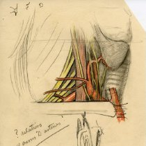 Image of Carotid Triangle - Graphite, colored pencil, and ink renderings of the carotid triangle. Includes 1 finished ink wash illustration and 1 print. For Warren's Handbook of Anatomy - section titled The Carotid Triangle. Page 30-34. Figures 23, 24, and 25. 21 pieces.