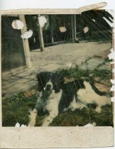 Image of Folder 225; Prince, Klett family dog, lying down outside (c. 1977-1987)