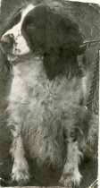 Image of Folder 246; unknown dog (Klett), n.d.
