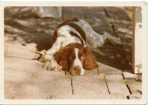 Image of Folder 223; Tammy, the Klett family dog, lying down (c. 1967-1977)