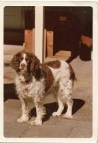 Image of Folder 224; Tammy, Klett family dog, standing (c. 1967-1977)