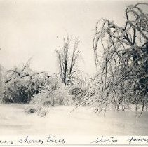 Image of Print, Photographic - Photograph of Markens Cherry Trees covered with ice