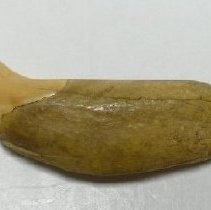 Image of Tooth - 1981.001.0119