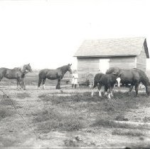 Image of Negative, Glass-plate - Four horses with handlers