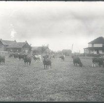 Image of Negative, Glass-plate - Cattle in field near farm