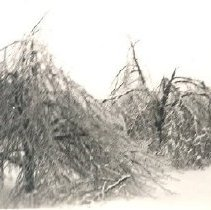 Image of Print, Photographic - Damaged trees during 1935 Ice Storm