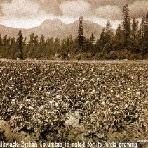 Image of Print, Photographic - View of a large potato field in the Chilliwack area.
