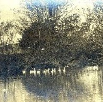 Image of Print, Photographic - View of flock of geese floating on unidentified pond.