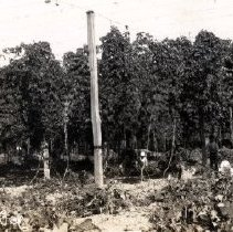 Image of Print, Photographic - View of aboriginal hop pickers at work in field of hops in the Sardis area.